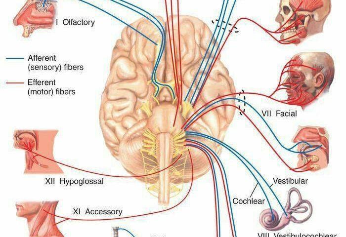اعصاب بدن